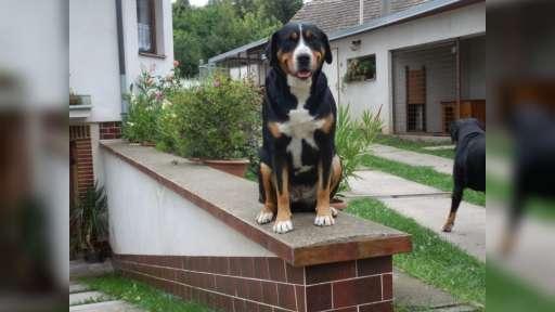 VELKÝ ŠVÝCARSKÝ SALAŠNICKÝ PES - Great Swiss Mountain Dog (058)