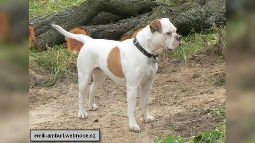 Americký Bulldog - Americký buldok