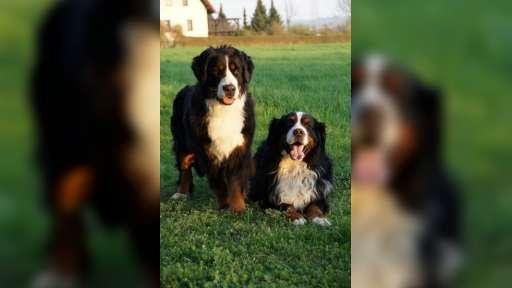 Bernansky salasnicky pes - Bernský salašnický pes (045)
