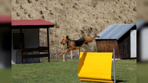 prodám - Airedale Terrier (007)
