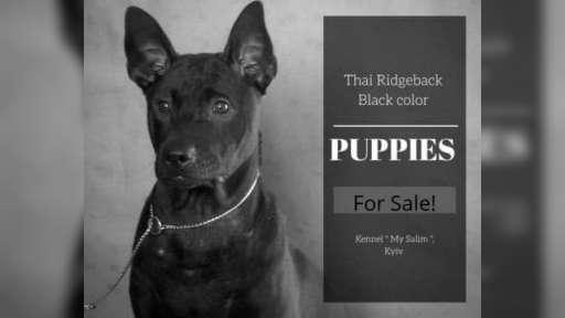 Thai Ridgeback PUPPY  - Thajský ridgeback (338)