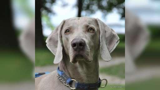 Prodám štěňata výmarských ohařů - psi - Výmarský ohař (099)