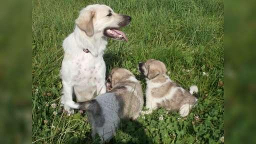 Český horský pes - Český horský pes