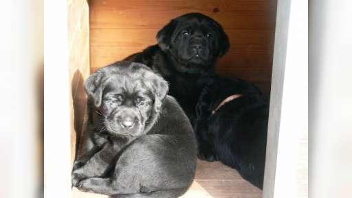 Labrador štěňata po špičkových rodičích - Labrador Retriever (122)