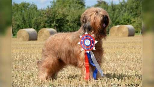Briard štěnátka - kennel DALIDO - Briard (113)