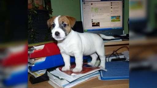 Jack Russell Terrier - Jack Russell teriér (345)