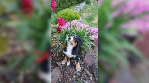 Štěně-Velký švýcarský salašnický pes - Velký švýcarský salašnický pes (058)