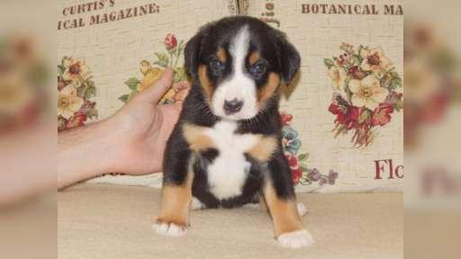 Entlebušský salašnícky pes - Etlenbuchský salašnický pes (047)