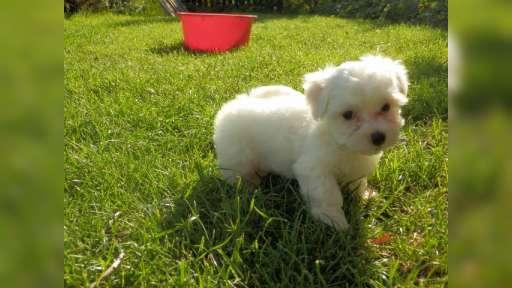 Maltézáček - čistokrevné štěňátko - Maltézský psík (065)