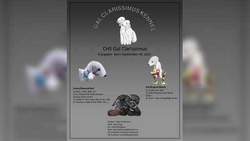 Bedlington Terrier - Bedlingtonský teriér - Bedlington teriér (009)