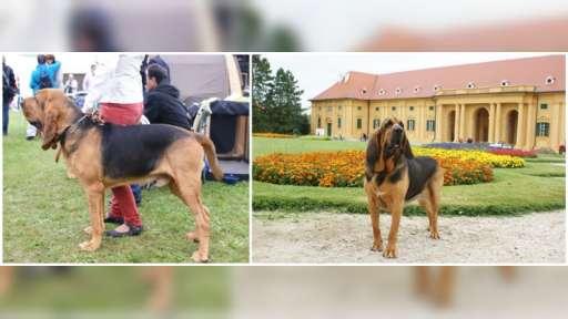 Prodej štěňat bloodhound - Bloodhound (084)