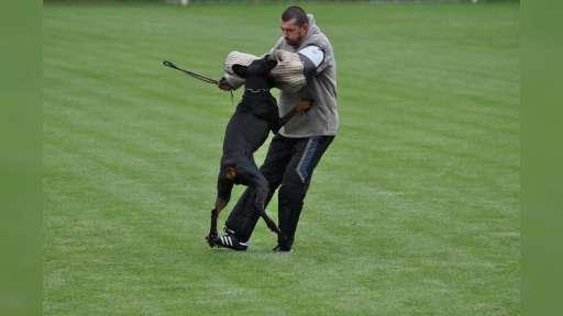 Doberman - černá a hnědá štěňata s rodokmenem, vysoká kvalita - Dobrman (143)