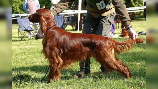 Irský setr - chovný pes i fena  - Irský setr (120)