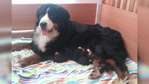 Bernský salašnický pes - štěňátka s PP - Bernský salašnický pes (045)