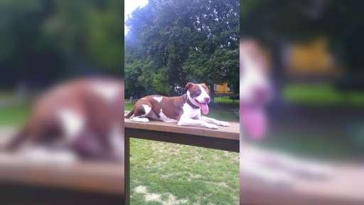 Am. Pitbullterier - pes na prodej - Americký pitbull teriér