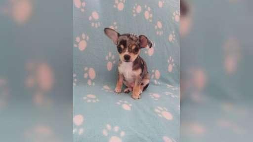 Chihuahua welpen - Čivava (218)