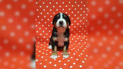 Velký švýcarský salašnický pes - Velký švýcarský salašnický pes (058)