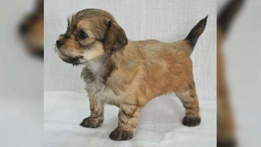 Havanský psík s PP na prodej - Havanský psík (250)