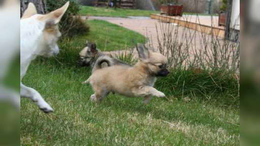 Čivava pes s PP - dlouhosrtý - Čivava (218)