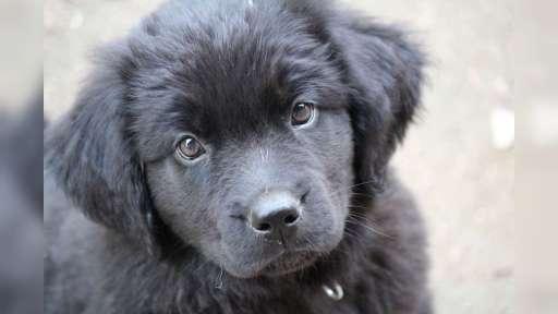 Novofundlandský pes-štěně - Novofundlandský pes (050)