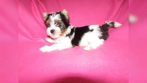 Biewer yorkshire terrier na prodej - Yorkšírský teriér (086)
