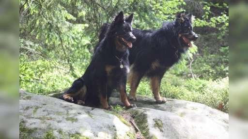 Chodský pes - štěňátka s PP - Chodský pes
