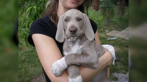 Predám šteniatka SHS - Slovenský ohař hrubosrstý (320)