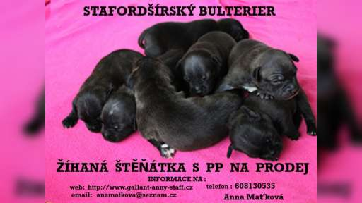 STAFORDŠÍRSKÝ BULTERIER- žíhaná stěňátka s PP - Stafordšírský bulteriér (076)