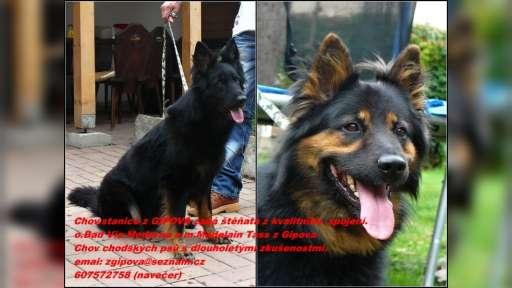 Beru záznamy na štěňata chodského psa s PP - Chodský pes