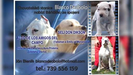 argentinska doga - Argentinská doga (292)
