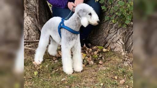 Bedlington terrier puppies kennel Bohemia Opus - Bedlington teriér (009)