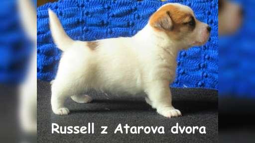 Jack Russell Terrier s PP - Jack Russell Terrier (345)