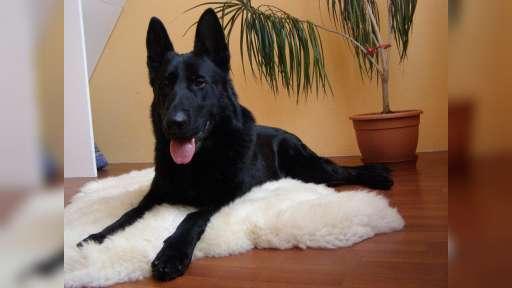 Německý ovčák-krásný černý pejsek na prodej - Německý ovčák (166)