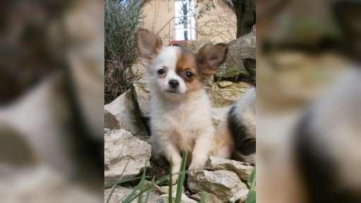 čivava dlouhosrstá s PP - Chihuahua (218)