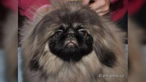 Pekingský palácový psík, pekinéz s PP - Pekingský palácový psík (207)