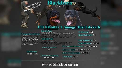 Rottweiler puppies - Rotvajler (147)