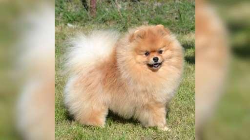 Pomeranian štěňata s PP FCI - Pomeranian