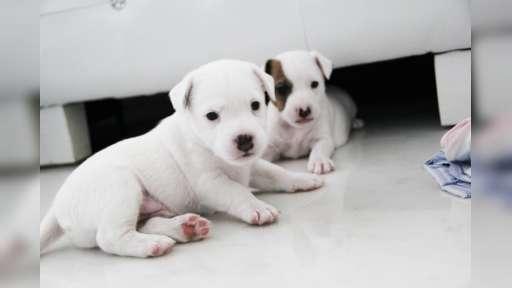 Parson Russell Terrier - šteniatko s PP - Parson Russell teriér (339)