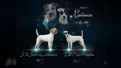 Parson Russell Terrier s PP - Parson Russell teriér (339)