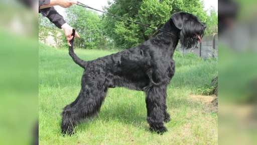 Velký knírač - štěňata - Knírač velký (181)