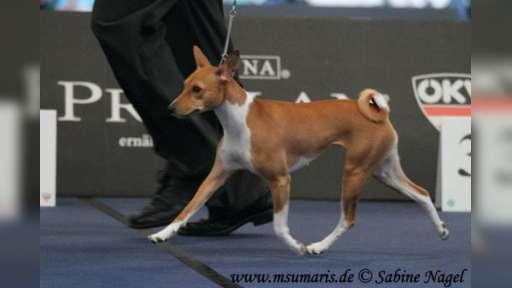 basenji štěně - Basenji (043)