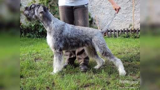Knírač velký Pepř a Sul štěn. s PP - Knírač velký (181)