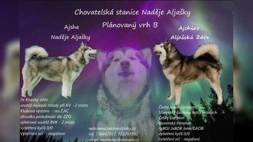 Aljašský malamut - Aljašský malamut (243)