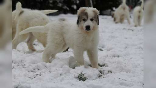 Pyrenejský horský pes  - Pyrenejský horský pes (137)