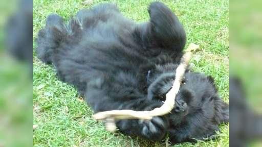 Novofundlandské štěně s PP - Novofundlandský pes (050)
