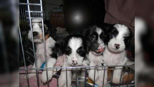 Chlapeček čínského chocholatého psa - Čínský chocholatý pes (288)