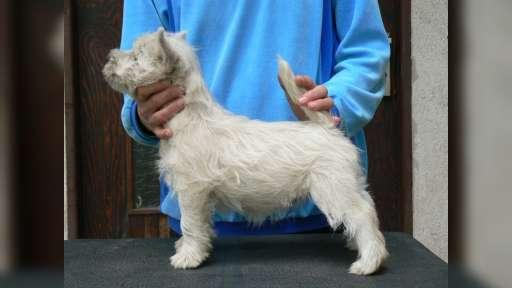 West Highland White Terrier s PP - West highland white teriér (085)