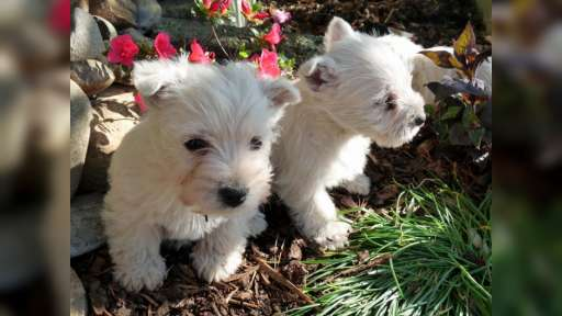 West highland white terrier  - West highland white teriér (085)