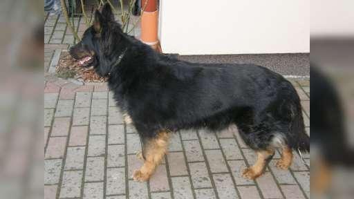 Prodám štěňátka chodského psa s PP - Chodský pes