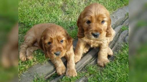 Prodám štěnata zlatých anglických kokršpanělů - Anglický kokršpaněl (005)